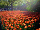 field of tulips-small